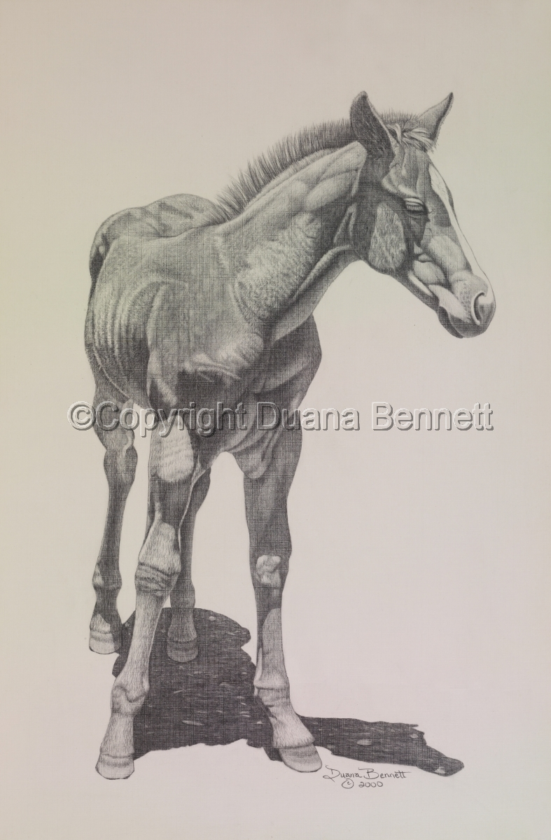 Graphite pencil study on paper of a quarter horse filly. (large view)