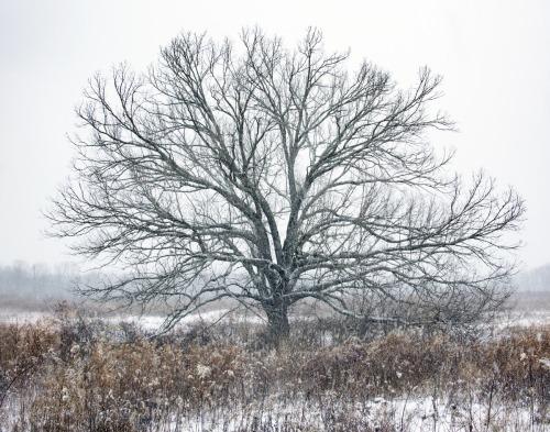 Pennington Tree