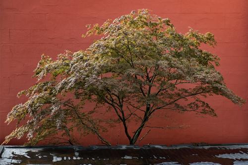 Portland Maple