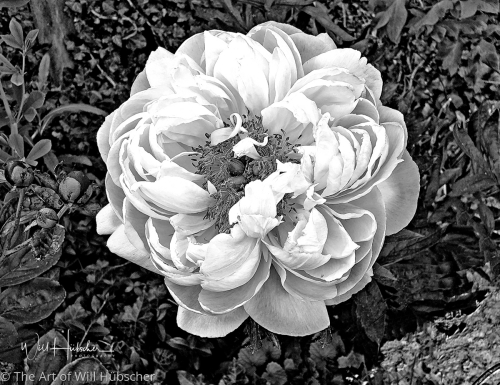 Peony by The Art of Will Hübscher