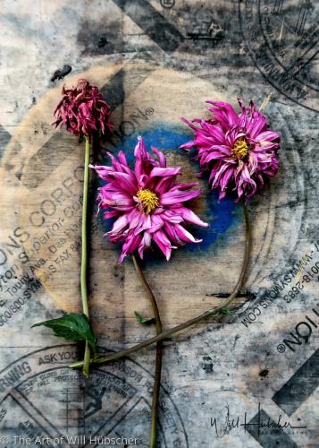 Dahlia Purple by The Art of Will Hübscher