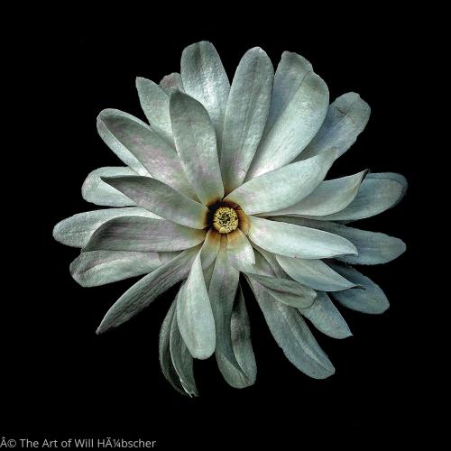 Magnolia by The Art of Will Hübscher