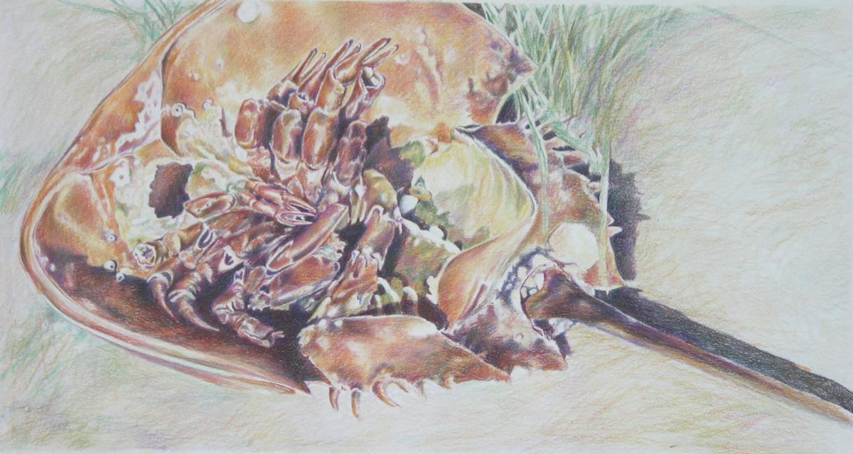 Horseshoe Crab (large view)