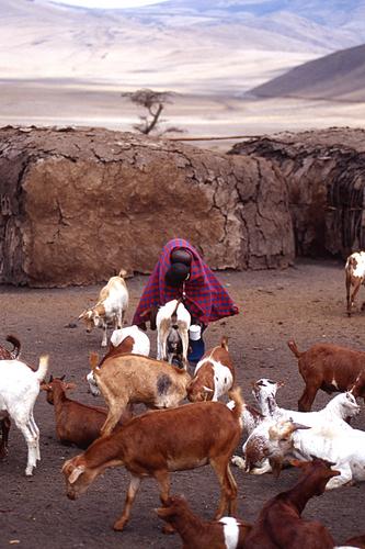 Masai Goat herd by PETER NICHOLS