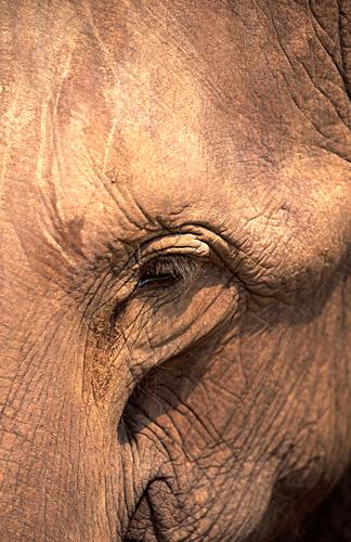 Elephant Eye