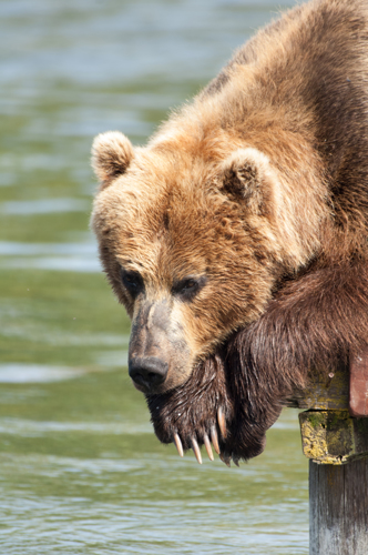 Kamchatka bear 2