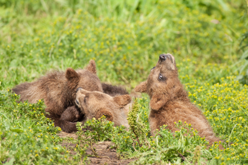 Bear Cubs at Play