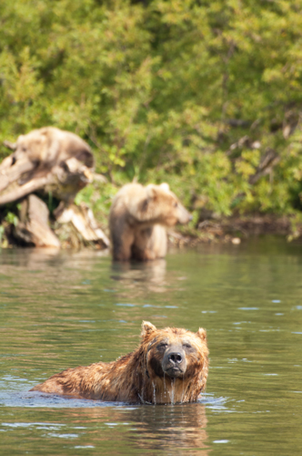 Bears fishing for salmon.