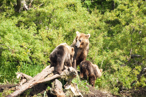 Momma bear with cubs.