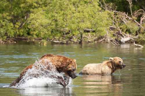 Bear catching salmon. by PETER NICHOLS