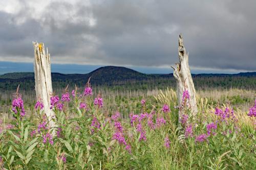 Dead Forest near Tolbachek Volcano
