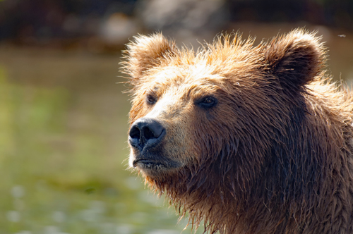 Kamchatka Bear 3