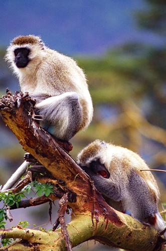 Primates resting