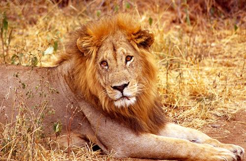 Hard life lion