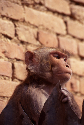 Monkey contemplating