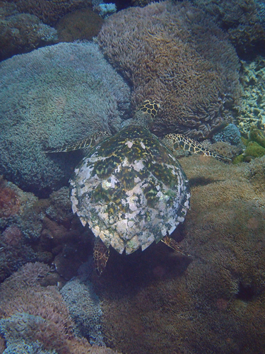Sea turtle over coral.
