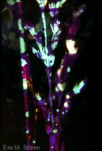 purple batik by Eva M. Brown