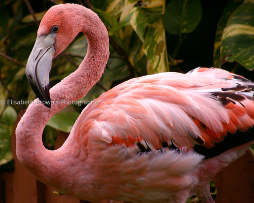 Caribbean Flamingo by Elisabeth Brown's Photography