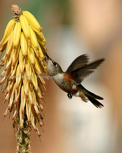Bahama Woodstar Hummingbird by Elisabeth Brown's Photography