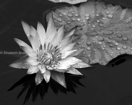 Water Lily 2 by Elisabeth Brown's Photography