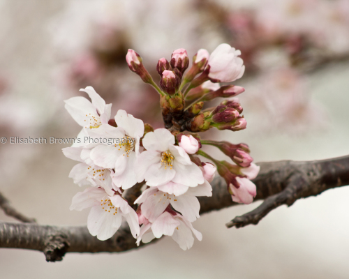 Japanese Cherry Blossoms #1