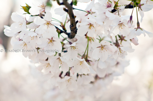 Japanese cherry blossom #12 by Elisabeth Brown's Photography
