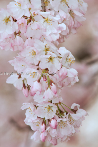Cherry blossoms #1