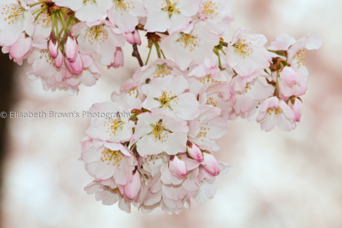 Cherry blossoms #2