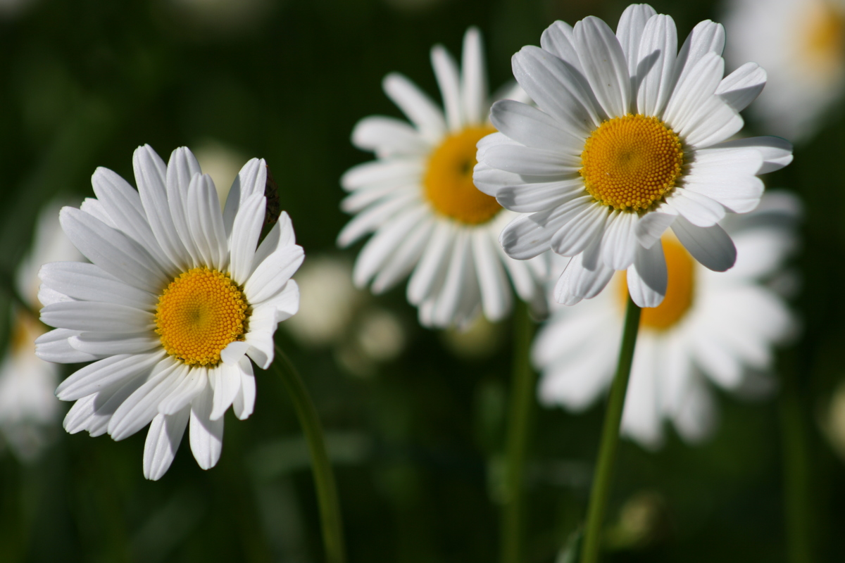 Daisies 1 - Photograph (large view)
