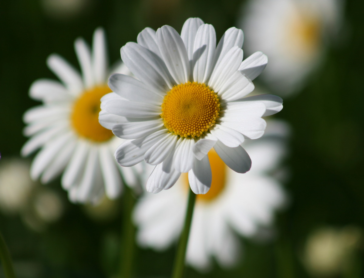 Daisies II - Photograph (large view)