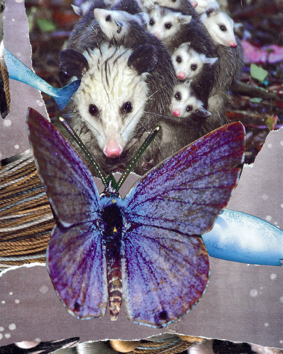 Opossum Butterfly Encounter (large view)