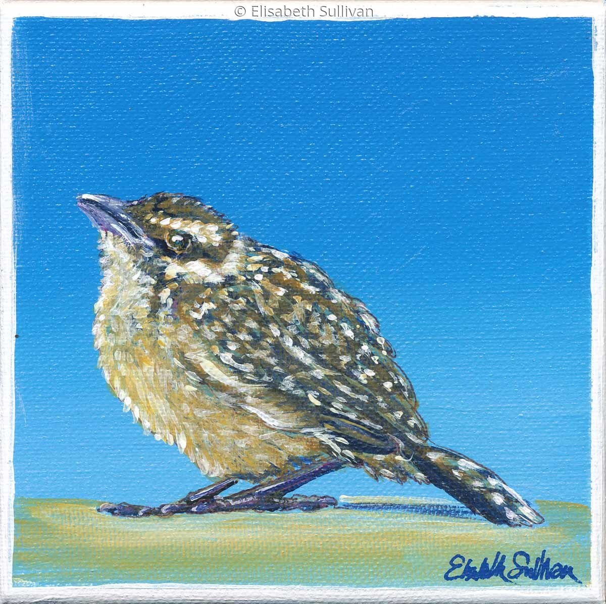 Cactus Wren Chick (large view)