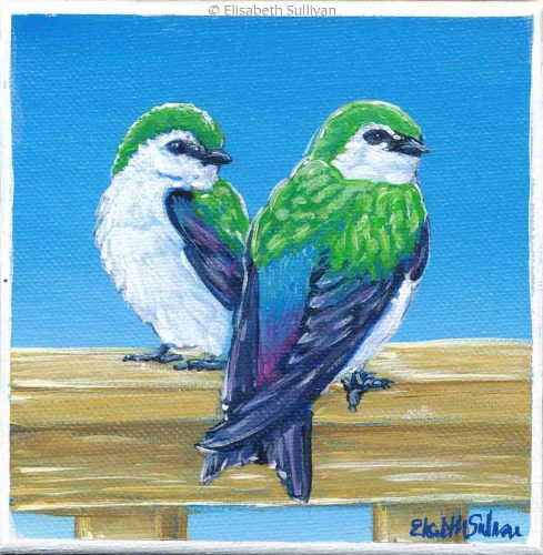 Violet Green Swallows (large view)