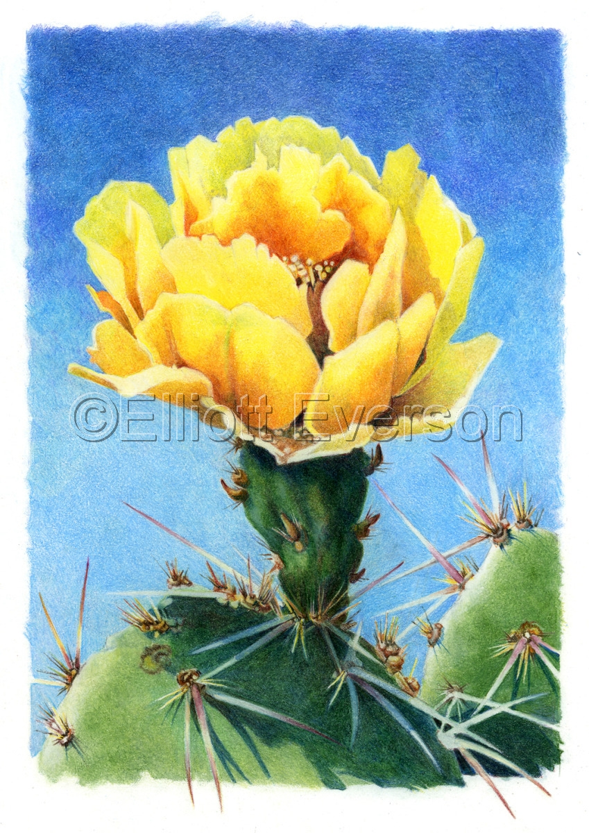 Colored Pencil drawing of a Prickly Pear Cactus blossom on paper. (large view)