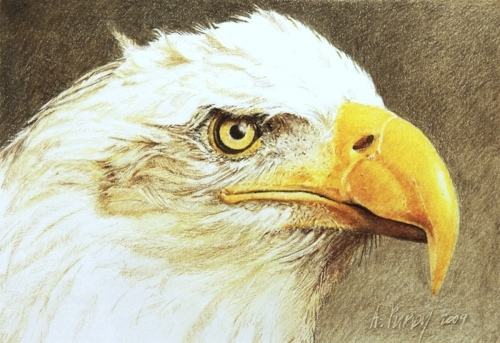 Bald Eagle Study by Art by Andrew Purdy