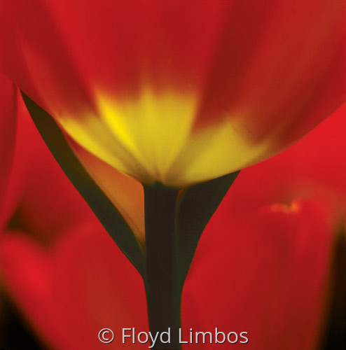 Red Tulip by Floyd Limbos