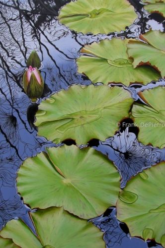 Water Lilies # 30