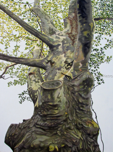 Sycamore Tree by Frank DePietro Fine Art