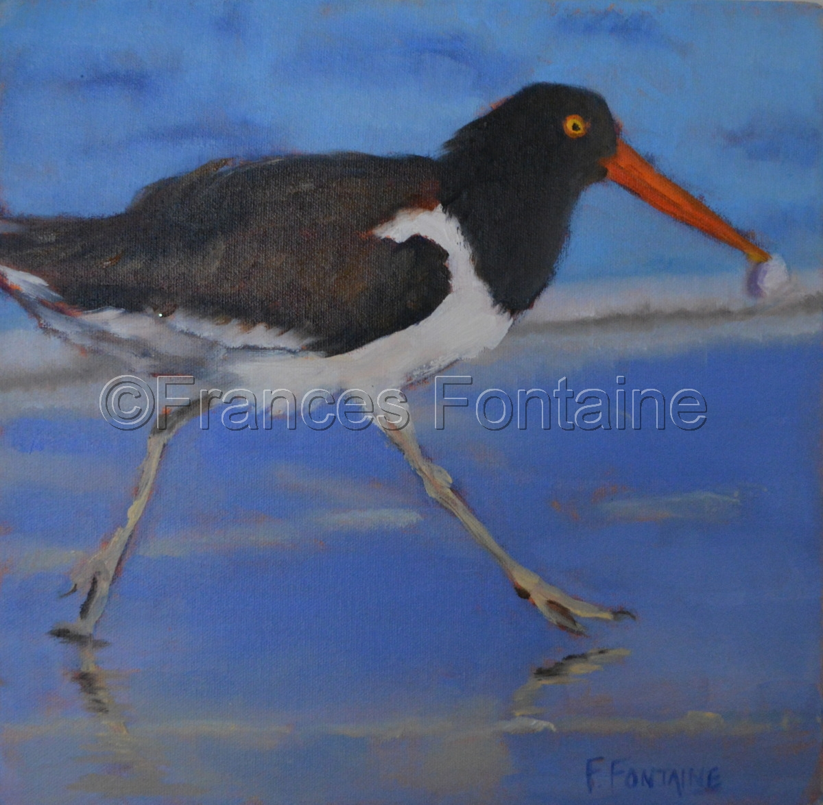 American Oystercatcher (large view)