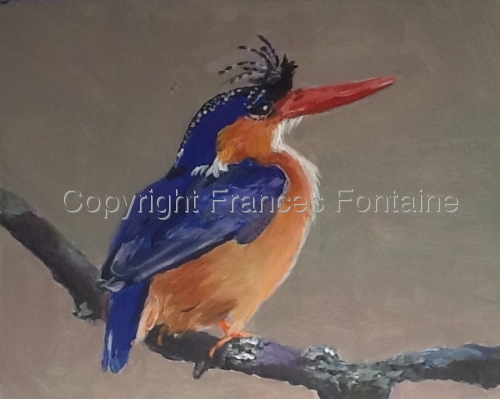 Little Pygmy Kingfisher (large view)
