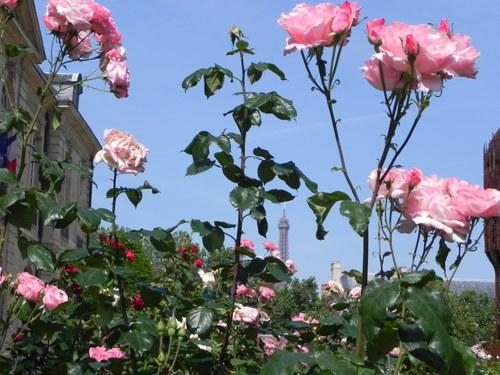 Pink Parisian Roses