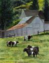 Oreo Cows (thumbnail)