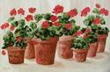 Potted Geraniums (thumbnail)