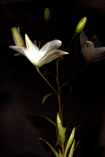 ANTIQUE LILY by GAYLE O LEE