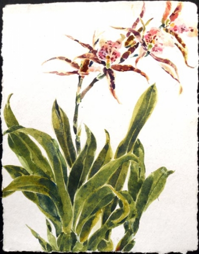 red spider orchid (large view)