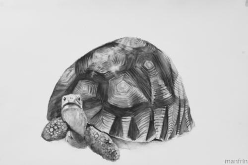 Plowshare Tortoise