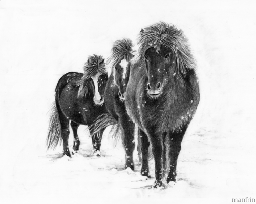 Icelandic Ponies in the Snow
