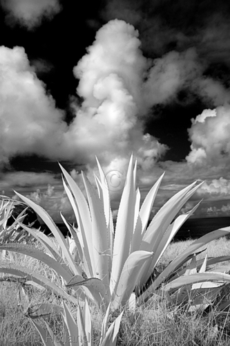 Cacti I, Easter Island (large view)