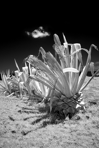 Cacti II, Easter Island (large view)