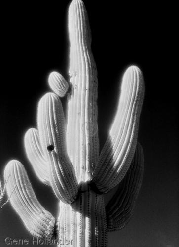 Cacti (large view)